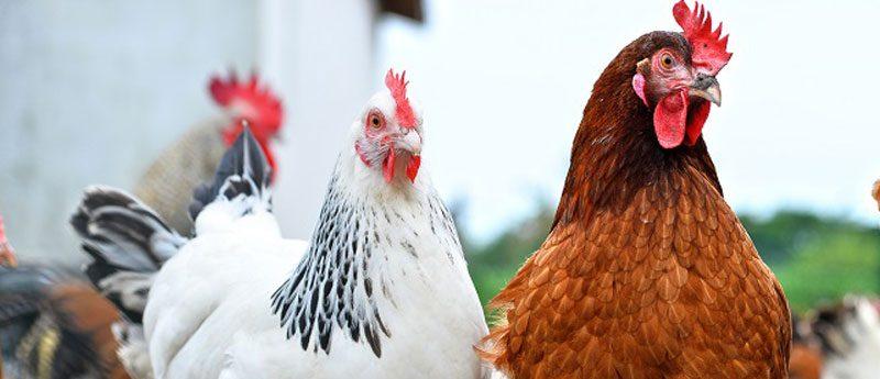 Гадания на будущего мужа с помощью курицы и петуха.