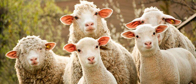 Гадание на замужество по овцам.