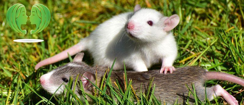 Близнецы в год Крысы