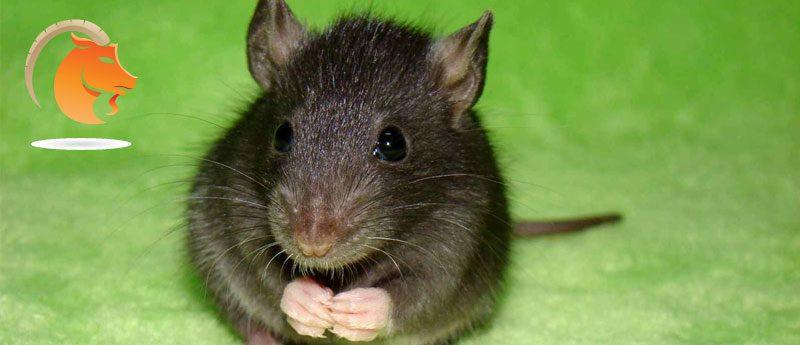Козерог — Крыса