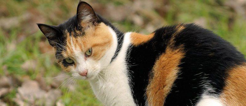 Трехцветный кот приносит счастье